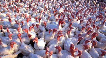 ars_turkeys600.jpg