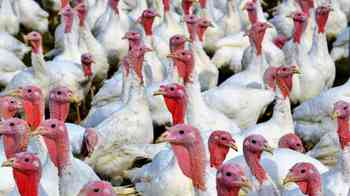turkeys-2977258.jpg
