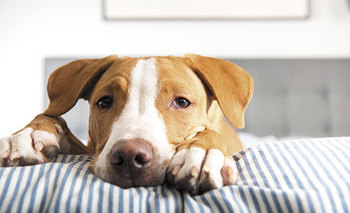 veterinary-young-fawn-mixed-breed-puppy-laying-on-striped-bed-450px-shutterstock-564777532.jpg