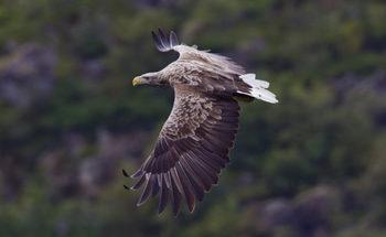 white-tailed-sea-eagle-730x450.jpg